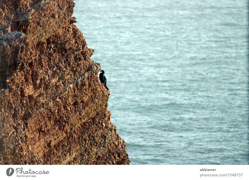 """Einsamer Vogel Umwelt Tier Felsen Küste Nordsee Meer Wildtier """"Tier Tiere tierisch Tierwelt Tierreich Natur Vögel Wasservogel Wasservögel Klippe Steilwand"""