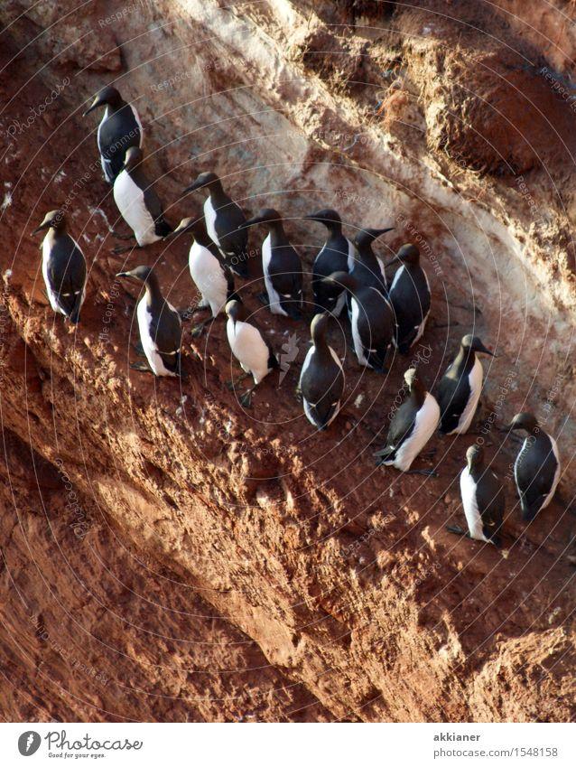 Vogelkolonie Natur Ferien & Urlaub & Reisen Landschaft Tier Umwelt Herbst Küste Felsen Wildtier Insel Tiergruppe Seeufer Nordsee Schwarm