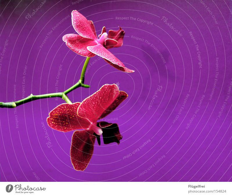 Orchidee exotisch schön Sommer Umwelt Natur Pflanze Blume Blüte Wachstum violett rosa Stengel Farbstoff Strukturen & Formen neutral mehrfarbig Innenaufnahme