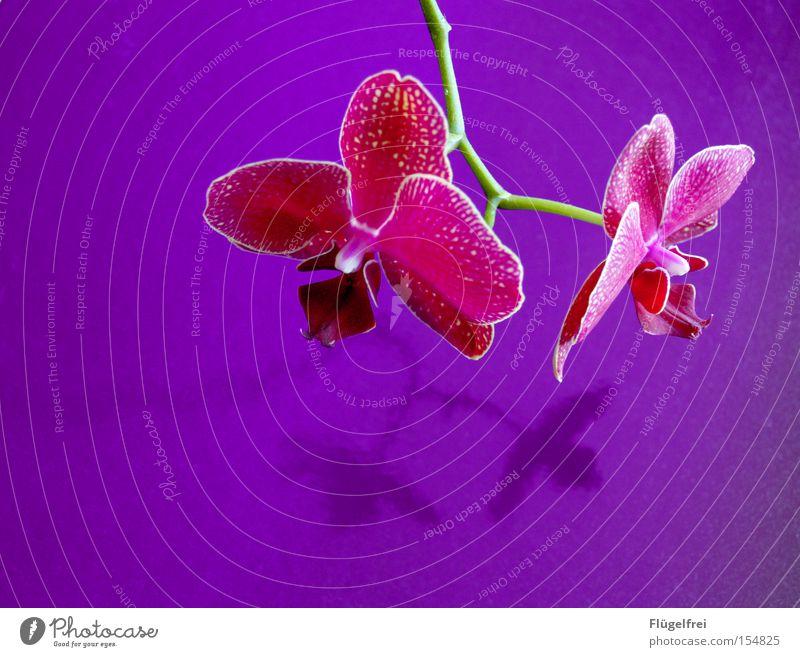 Orchidee exotisch schön Umwelt Natur Pflanze Blume Blüte Wachstum violett rosa Stengel Kontrast mehrfarbig Innenaufnahme Textfreiraum links Textfreiraum unten