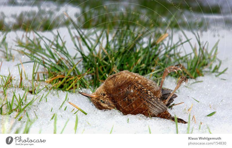 Tod eines Königs Winter Schnee Vogel Eis Frost kalt Gras Halm Wiese Feder Zaunkönig
