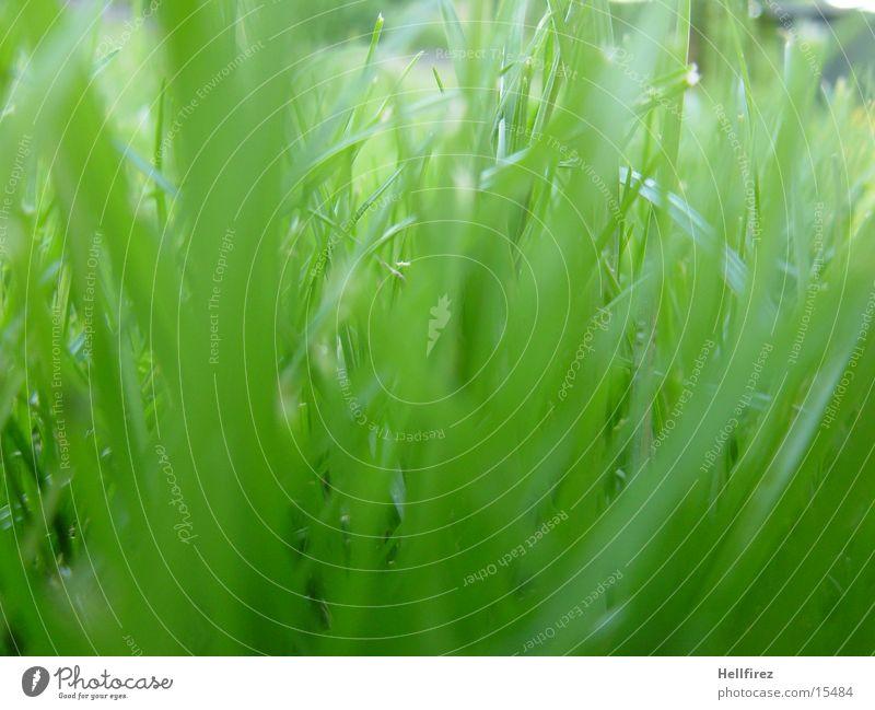 Gras Frühling Sichtschutz Makroaufnahme Garten
