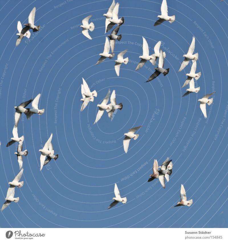 Familienausflug weiß Freiheit Luft Vogel fliegen Taube Blauer Himmel fliegend himmelblau Wolkenloser Himmel Vogelschwarm sehr viele Vogelflug Klarer Himmel Vor hellem Hintergrund
