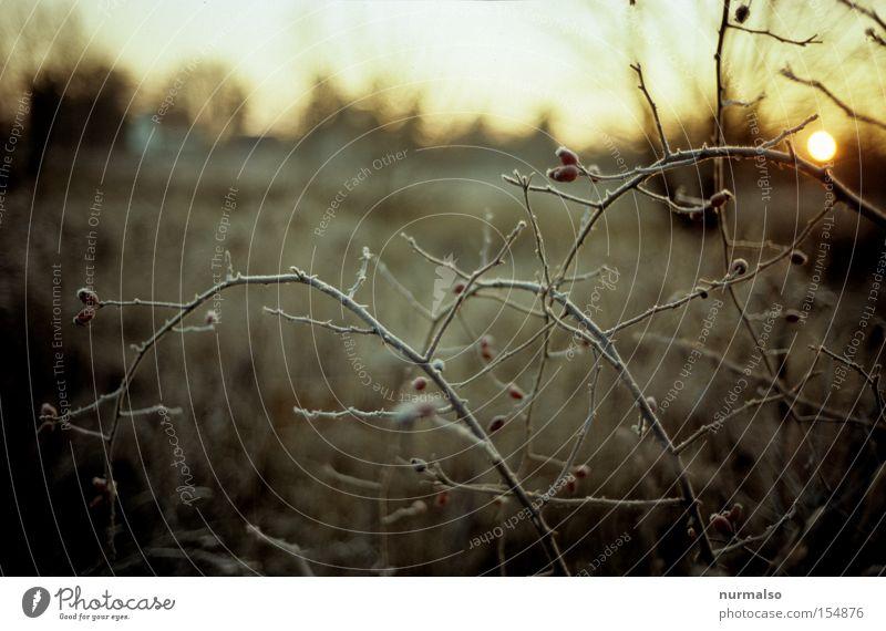 Hagebuttenkälte Morgen Frost kalt Sträucher Ast Stachel Sonne Morgendämmerung Natur Wildtier wild schön ästhetisch Winter Männlein Volkslied Hundsrose