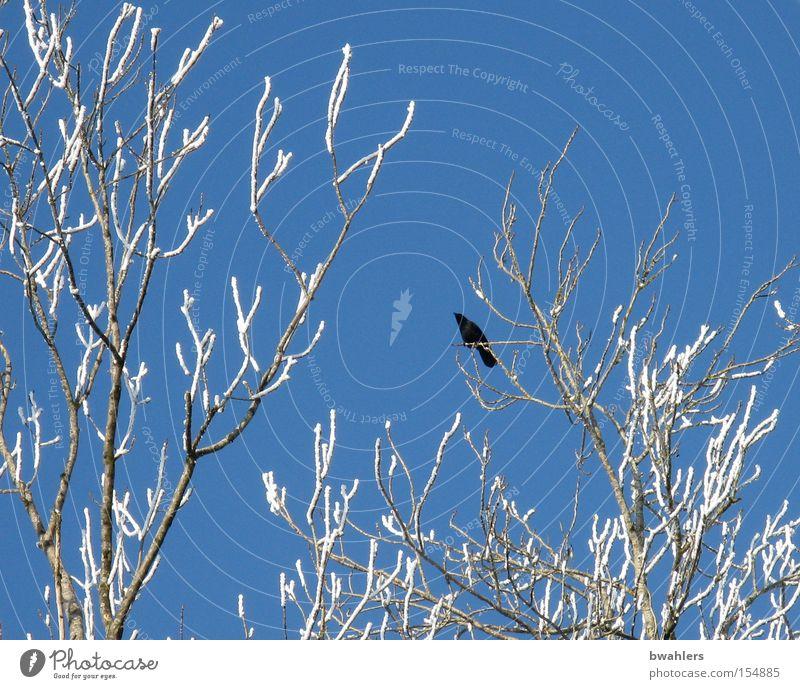 Eis-Vogel Krähe Baum Winter Himmel Schnee gefroren blau Höhe Ast weiß kalt