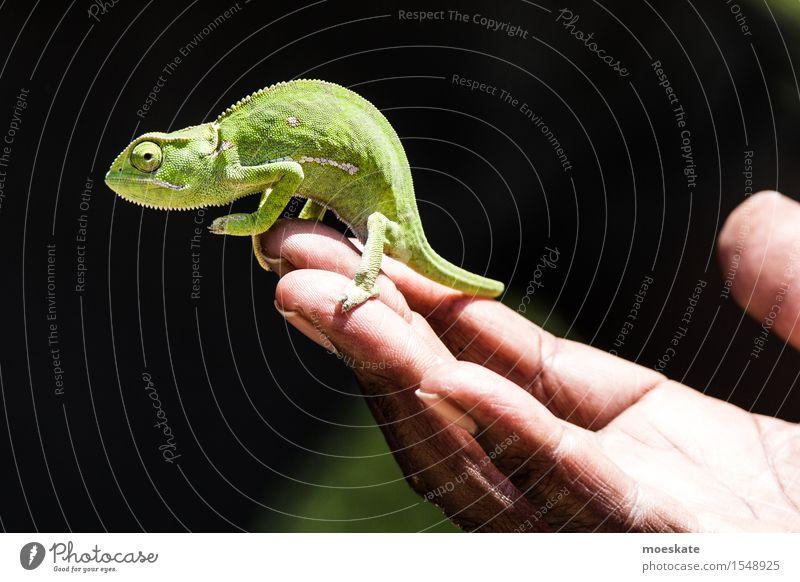 Chamäleon im Krüger Park 1 Tier tragen Südafrika Safari Reptil Echsenauge Hand festhalten Farbfoto Gedeckte Farben Tag Schwache Tiefenschärfe Totale Tierporträt