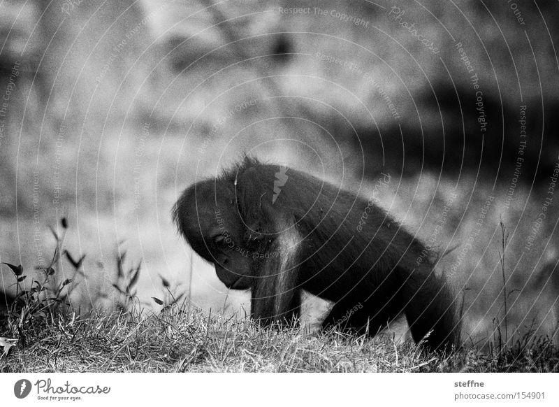 Orang-Utan Klaus Affen Äffchen Menschenaffen Waldmensch Borneo Sumatra süß Schwarzweißfoto Asien Säugetier