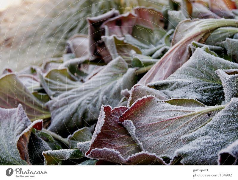 Winterlaub Vol.2 Pflanze Blume Blatt ruhig kalt Schnee Park Eis warten Wohnung Häusliches Leben Frost gefroren Raureif Wildpflanze