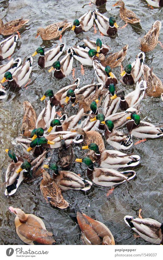 garbENTEich Ferien & Urlaub & Reisen Wasser Wassertropfen Sommer Park Teich See Tier Wildtier Vogel Flügel Pfote Ente Rudel Fressen füttern kämpfen Aggression