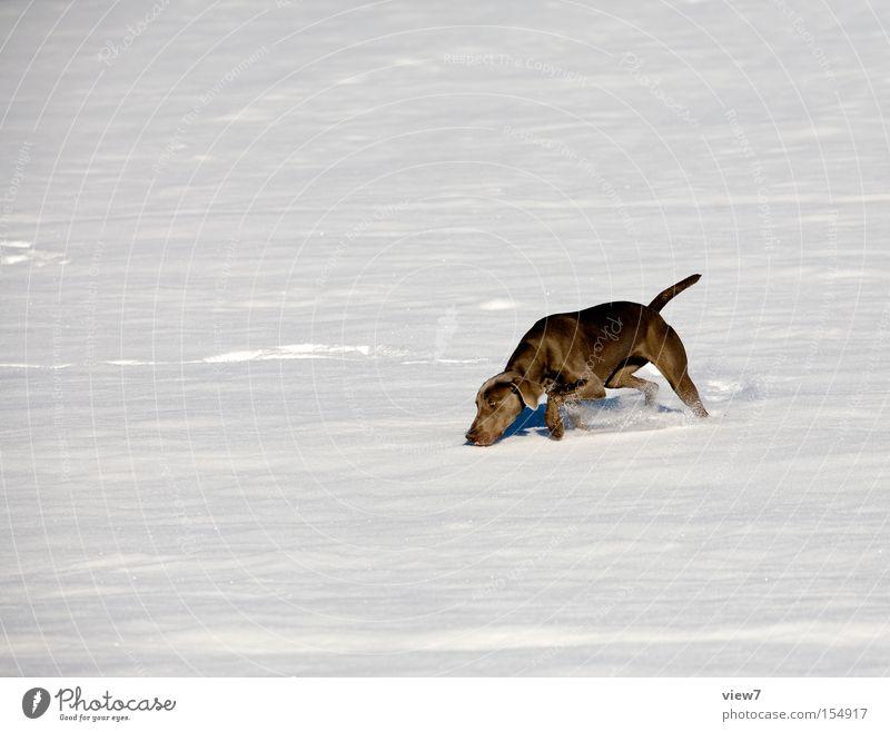 Schneegestöber Suche Hund Geruch kreisen Weimaraner Winter Schneedecke Fell Angelrute Nase laufen Rennsport Freude Säugetier stöbern such