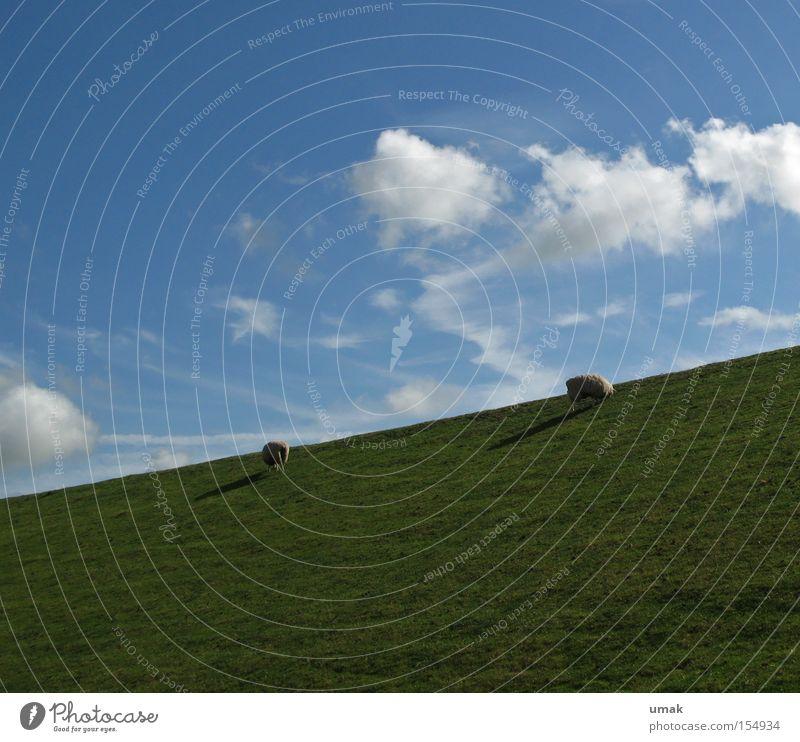 Heidschnucken Himmel grün blau Wolken Wiese Weide Schaf Fressen Säugetier Lamm Heidschnucke