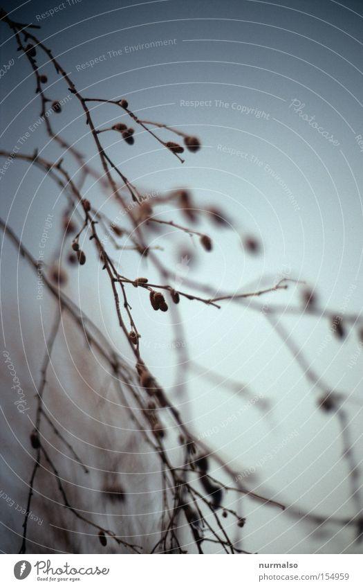 Klataraböms am Baum Himmel Farbe Winter kalt Ordnung Sträucher Ast Frost zart fein