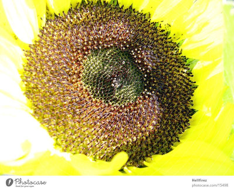 Sonnenblume [4] gelb dunkel hell