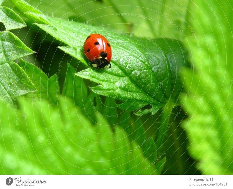 Marienkäfer auf Brennessel 3 Natur grün rot Pflanze Blatt Tier Zufriedenheit genießen Marienkäfer eckig stachelig Zacken gepunktet Heilpflanzen Glücksbringer Blattgrün