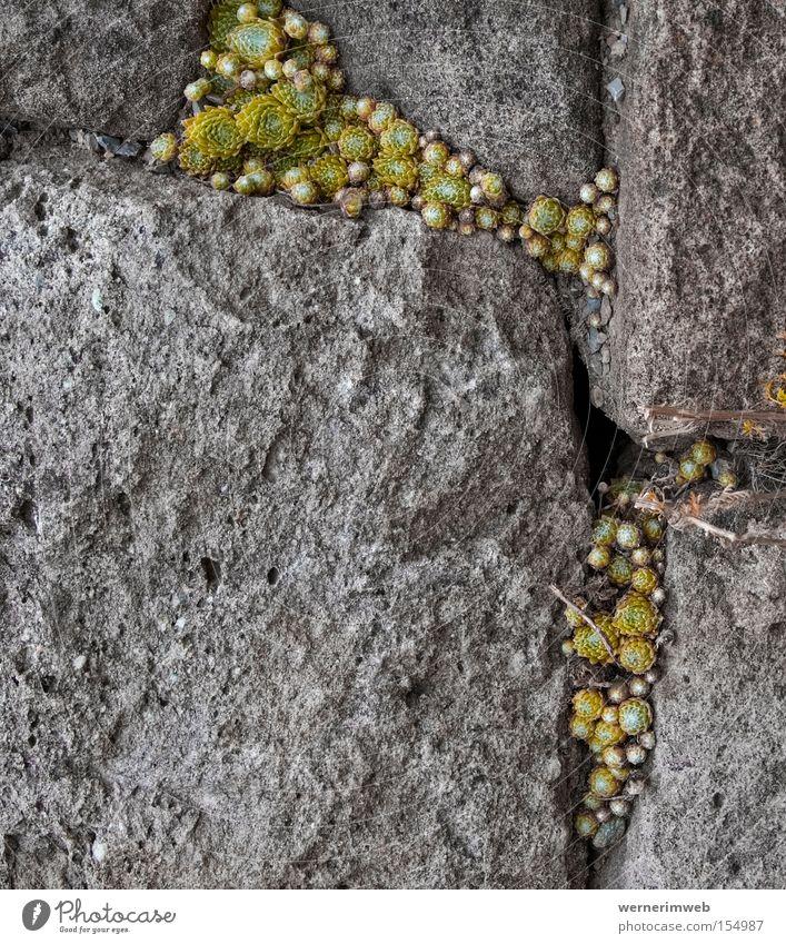 Gefüllter Fels nach Art des Hauses Stein Felsen Appetit & Hunger trocken Furche Fuge Überleben Mineralien Sukkulenten