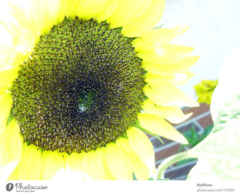 Sonnenblume [5] gelb dunkel hell Sonnenblume Blume Makroaufnahme