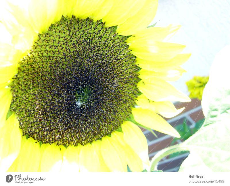 Sonnenblume [5] gelb dunkel Kontrast hell Makroaufnahme