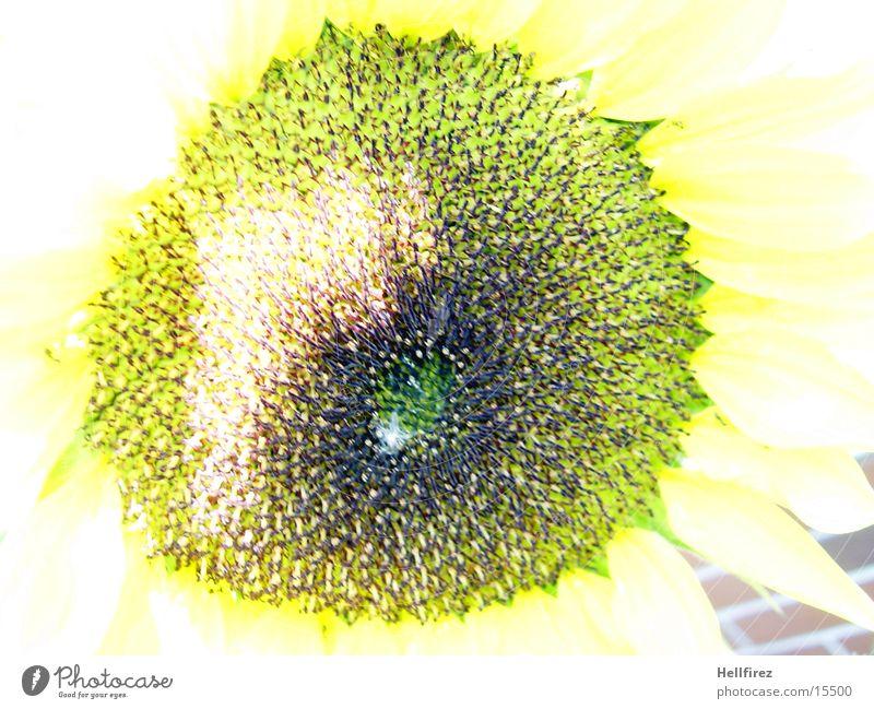 Sonnenblume [6] gelb dunkel hell