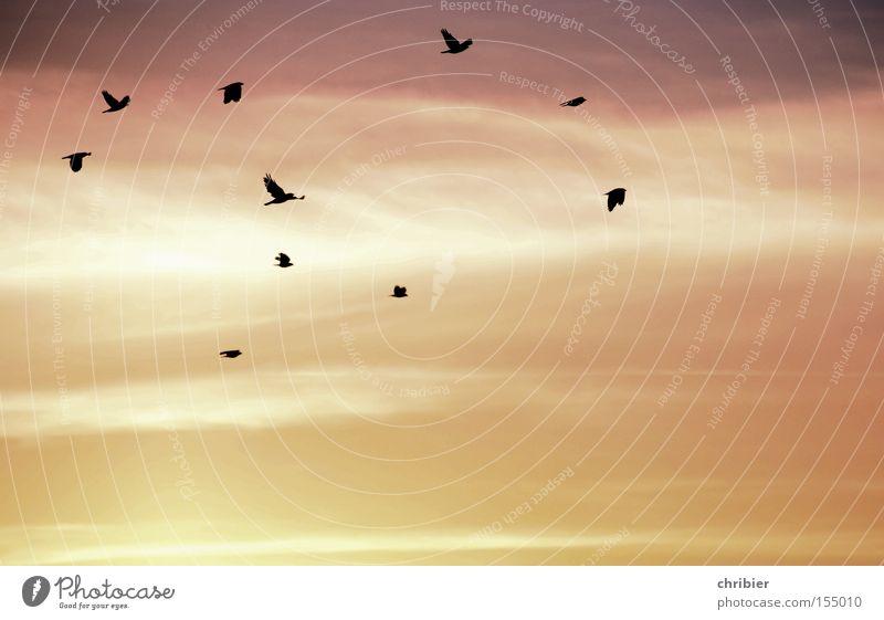 FlugKünstler schön Himmel ruhig Wolken Vogel Nebel Wind Wetter fliegen frei Sonnenaufgang Luftverkehr Krähe Vogelschwarm Morgennebel