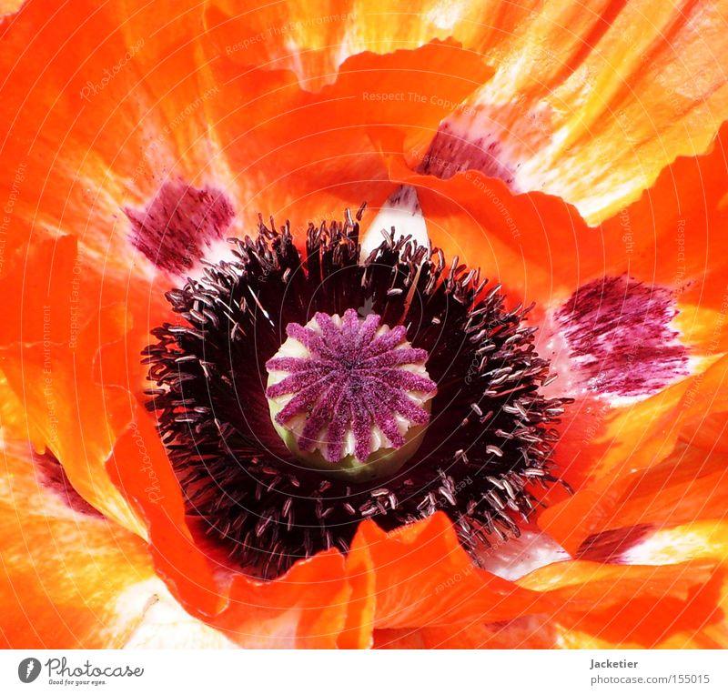 Mohn. Blüte Sommer Blume Blütenblatt orange Farbe Stempel