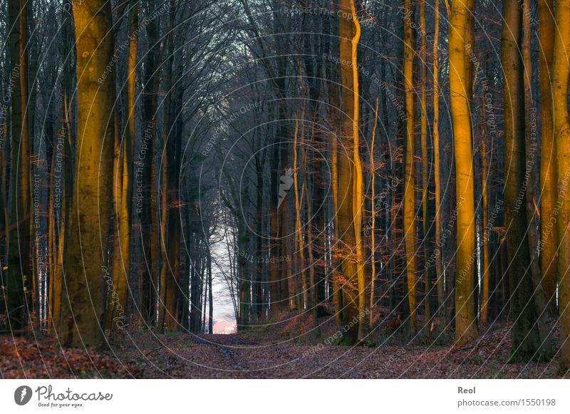 Letzte Strahlen Umwelt Natur Landschaft Urelemente Erde Sonne Sonnenlicht Herbst Winter Schönes Wetter Baum Blatt Wildpflanze Buche Wald Buchenwald Laubwald