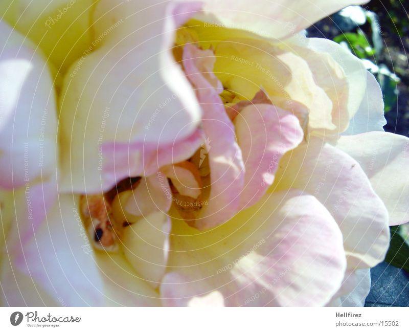 Welkende Pracht [7] Rose weiß violett rosa Facette orange welkende Blätter Makroaufnahme Kontrast blau
