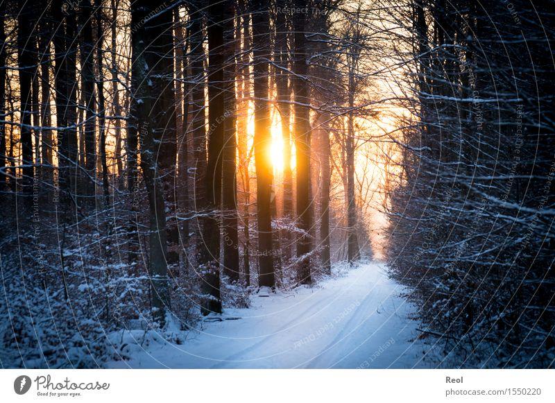 Winterlicht Umwelt Natur Landschaft Pflanze Sonne Sonnenaufgang Sonnenuntergang Sonnenlicht Schönes Wetter Schnee Wald Buchenwald Unterholz Erholung orange