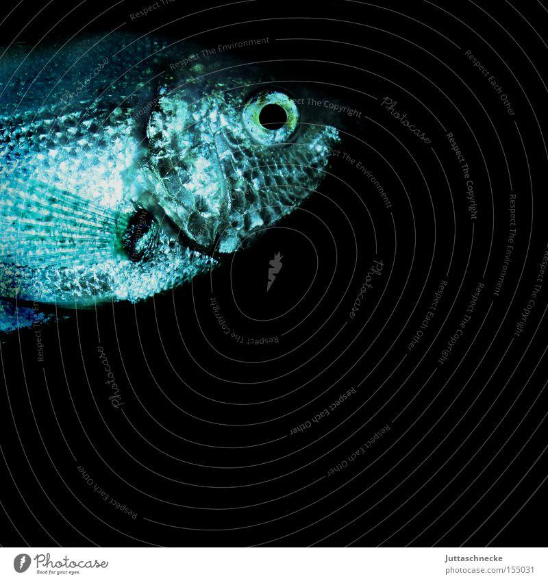 Karpfen blau Fisch Tier Schuppen Kieme Aquarium Wasser Zierfische nass Aquaristik Auge Flosse Freizeit & Hobby Guarami Küsserfisch Juttaschnecke