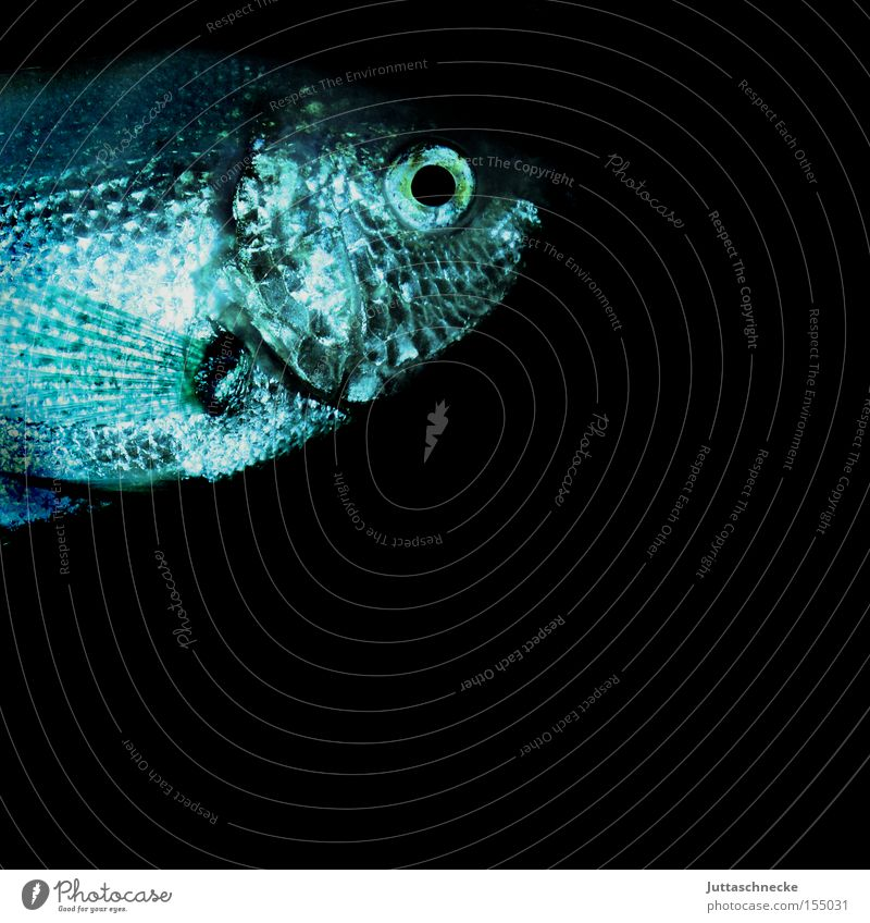 Karpfen blau Wasser Tier Auge Schwimmen & Baden Freizeit & Hobby nass Fisch Aquarium Flosse Schuppen Kieme Zierfische Aquaristik