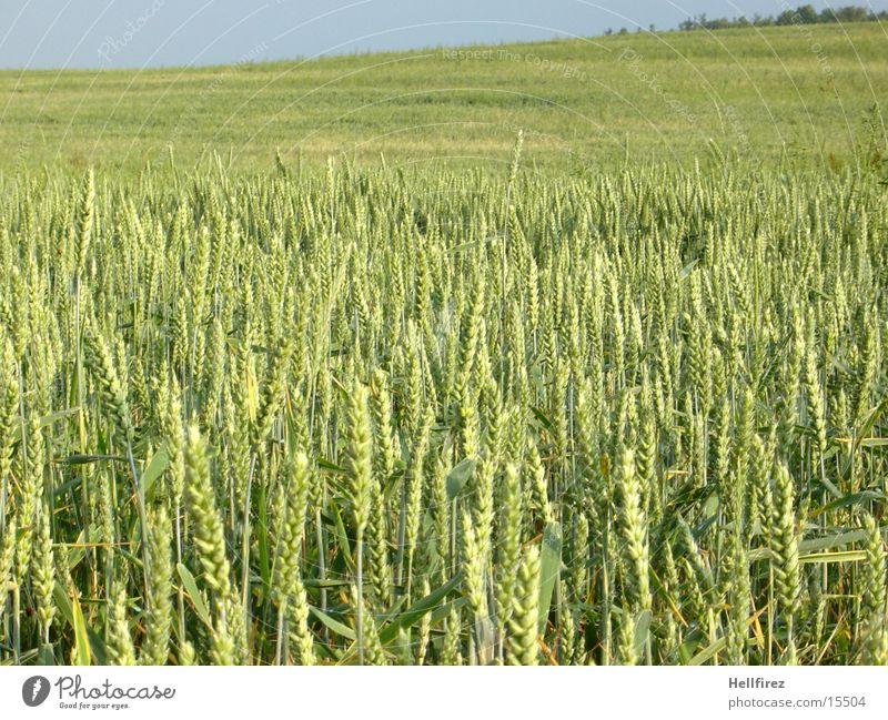 Wachsende Saat [2] Feld Getreide Hügel