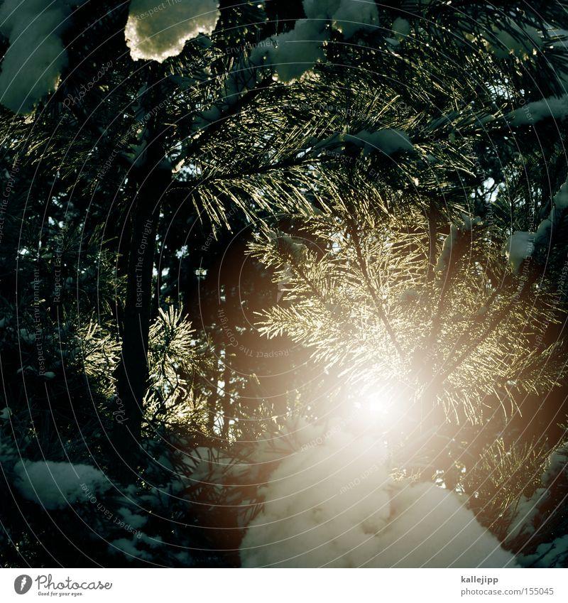 tauwetter Sonne Winter Tanne Wald Baum Frost Schnee Tauwetter Zweig Sonnenlicht Sonnenstrahlen Wärme kalt Eis Tannennadel