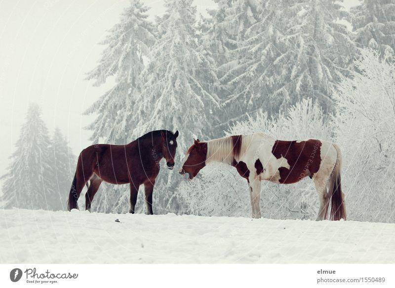 einer lachte sich scheckig Winter Schnee Baum Wald Nutztier Pferd 2 Tier Spaßvogel Witz Schecke Brauner Kommunizieren lachen stehen Zusammensein braun weiß