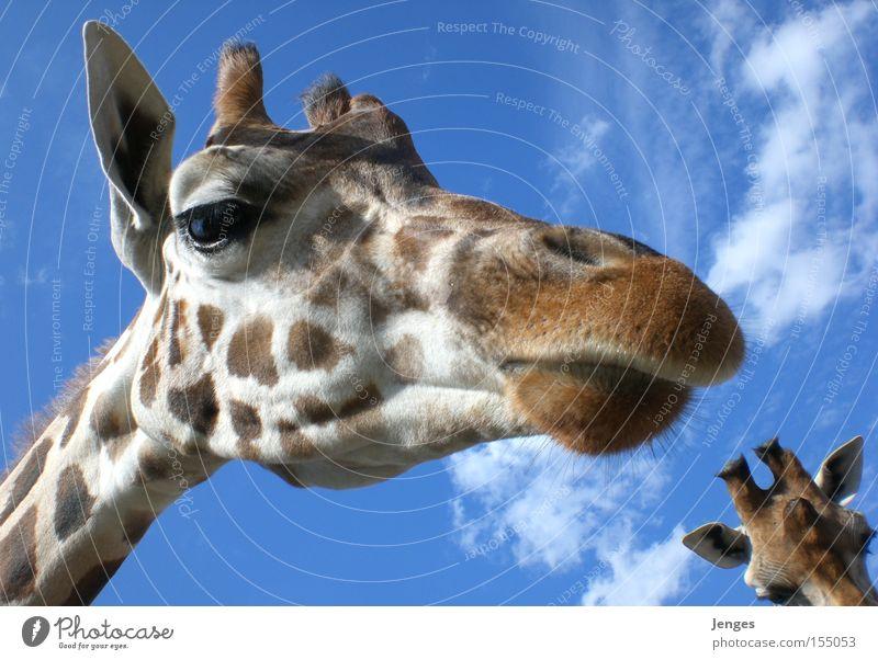 Giraffe Tier Zoo Himmel blau Schnauze Wolken groß Säugetier Ohr