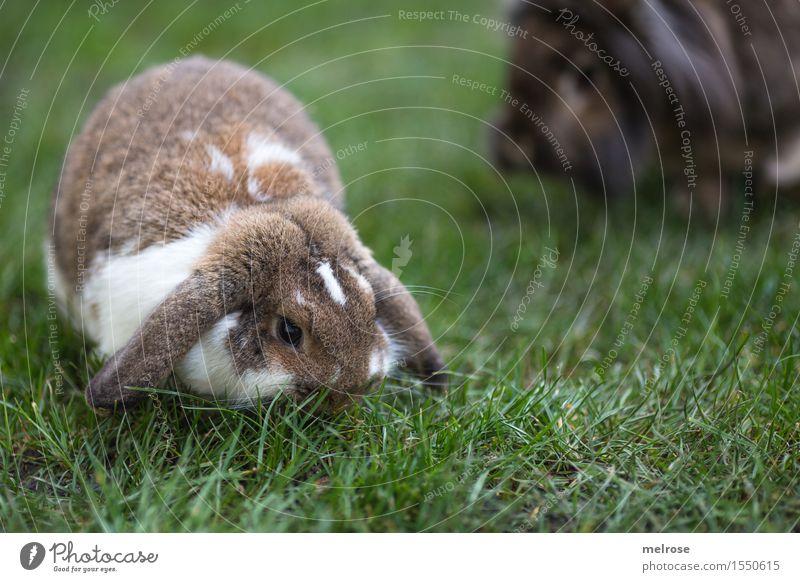 Familienvergrößerung schön grün weiß Tier Frühling Essen Wiese Gras klein Garten braun Zufriedenheit genießen niedlich weich Ostern