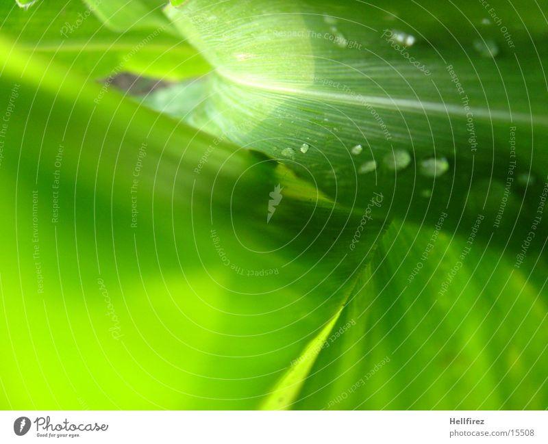 Bizarre Formen grün Blatt Wassertropfen grell Mais