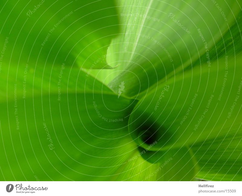 Bizarre Formen [2] grün Blatt grell Mais