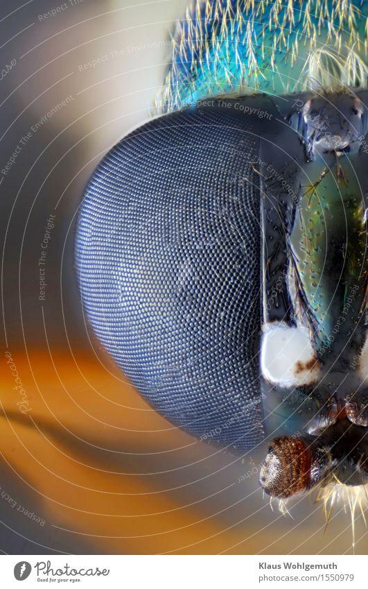 """""""... damit ich dich besser sehen kann."""" Umwelt Natur Tier Sommer Herbst Behaarung Wildtier Fliege Tiergesicht 1 Mikroskop beobachten Blick exotisch blau gelb"""