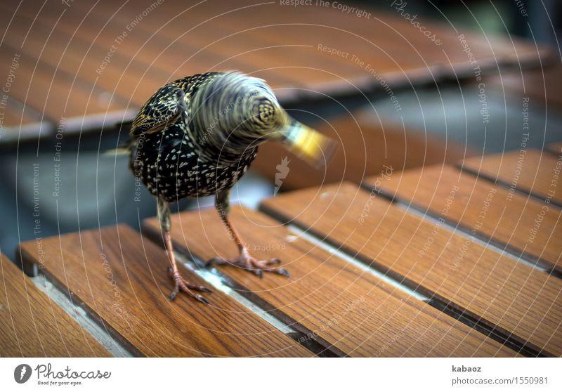 Vogel mit Drehwurm Tier Wildtier Star 1 Brunft Bewegung drehen frech Freundlichkeit Fröhlichkeit braun gelb schwarz Freude Glück Lebensfreude Frühlingsgefühle