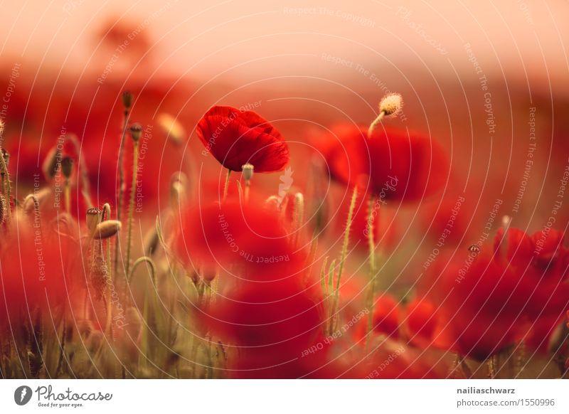 Klatschmohn im Frühling Sommer Umwelt Natur Landschaft Pflanze Blüte Wildpflanze Wiese Feld schön viele rot Romantik Idylle Mohn mohnwiese Mohnfeld intensiv