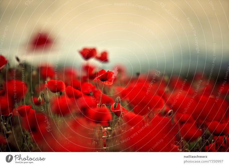Klatschmohn im Frühling Pflanze Sommer schön Blume Landschaft rot Umwelt Wiese Feld Idylle viele Mohn friedlich Wildpflanze intensiv