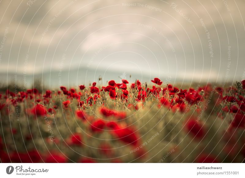 Klatschmohn im Frühling Pflanze Farbe Sommer Blume Landschaft rot Blüte Wiese Feld Idylle Blühend Lebensfreude viele rein Mohn