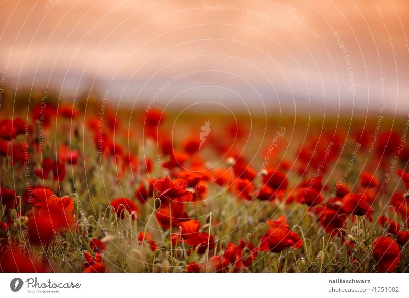 Klatschmohn im Frühling Sommer Natur Landschaft Pflanze Blume Blüte Wiese Feld viele rot Idylle Mohn mohnwiese Mohnfeld intensiv roter mohn papaver kapseln