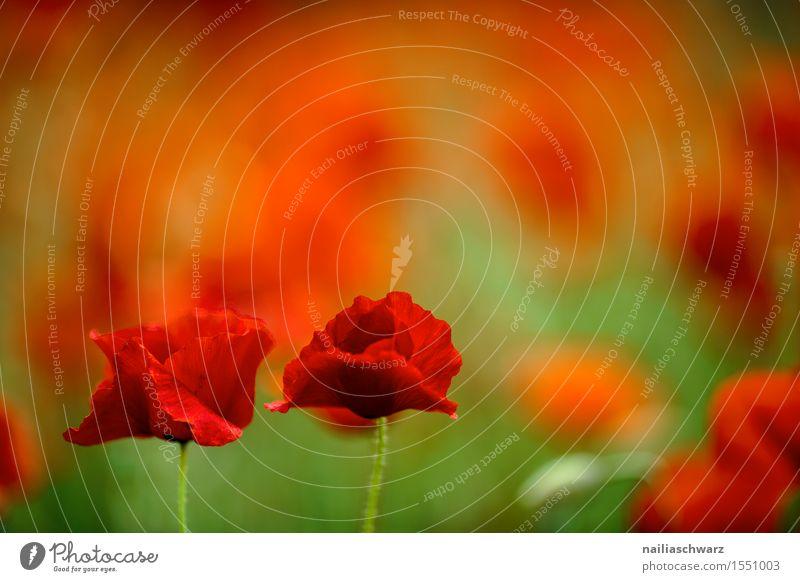 Klatschmohn im Frühling Sommer Natur Landschaft Schönes Wetter Blume Blüte Wiese Feld viele rot Idylle Mohn mohnwiese Mohnfeld intensiv roter mohn papaver