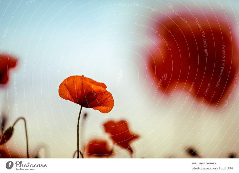 Klatschmohn im Frühling Natur Pflanze Sommer Blume Landschaft rot Wiese Feld Idylle Schönes Wetter viele Mohn intensiv Mohnfeld Mohnblüte