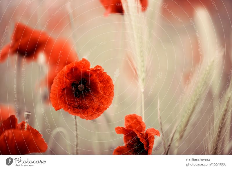 Klatschmohn im Frühling Sommer Landschaft Wiese Feld viele rot Idylle Mohn mohnwiese Mohnfeld intensiv roter mohn papaver kapseln mohnkapseln Mohnblüte