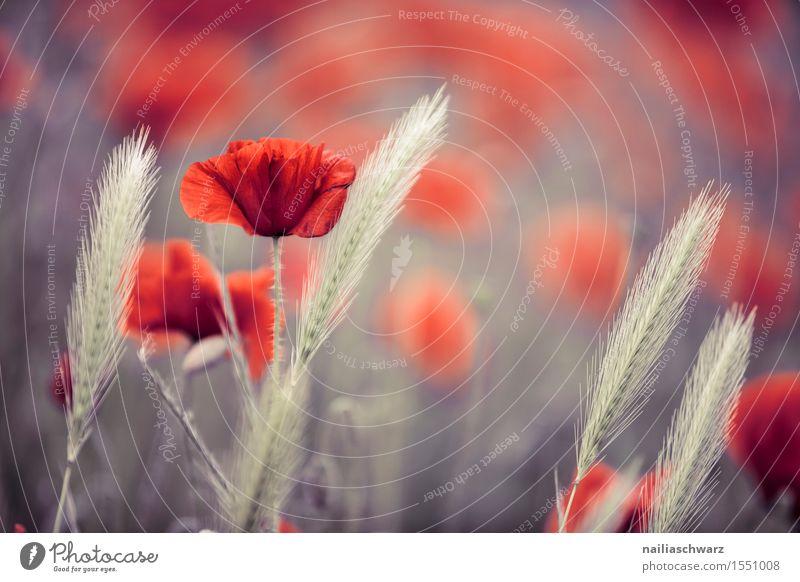 Klatschmohn im Frühling Natur Pflanze Sommer Blume Landschaft rot Herbst Wiese Feld Idylle viele Getreide Mohn Nutzpflanze Ähren Wildpflanze