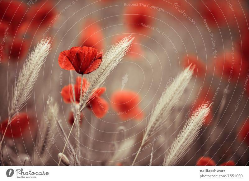 Klatschmohn im Frühling Pflanze Sommer Blume Landschaft rot Blüte Wiese Feld Idylle viele Getreide Mohn Weizen Nutzpflanze Ähren