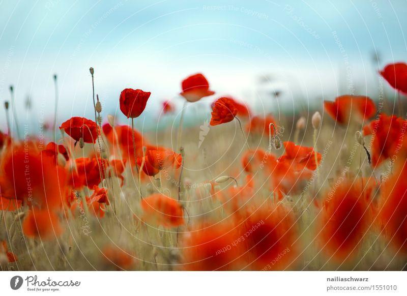 Klatschmohn im Frühling Sommer Landschaft Blume Blüte Wiese Feld viele rot Idylle Mohn mohnwiese Mohnfeld intensiv roter mohn papaver kapseln mohnkapseln