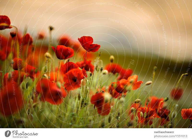 Klatschmohn im Frühling Pflanze Sommer Blume Landschaft rot Wiese Feld Idylle Schönes Wetter viele Mohn intensiv Mohnfeld Mohnblüte