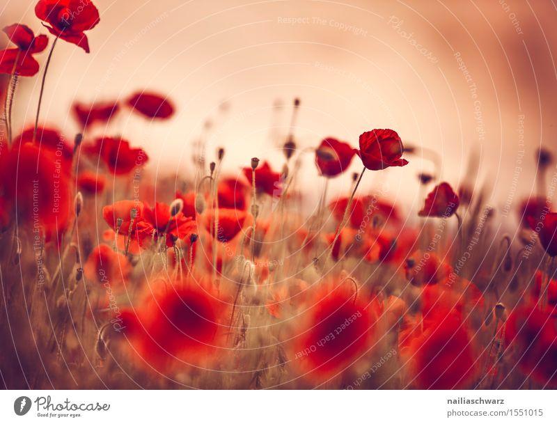 Klatschmohn im Frühling Sommer Landschaft Pflanze Blume Blüte Wiese Feld viele rot Idylle Mohn mohnwiese Mohnfeld intensiv roter mohn papaver kapseln